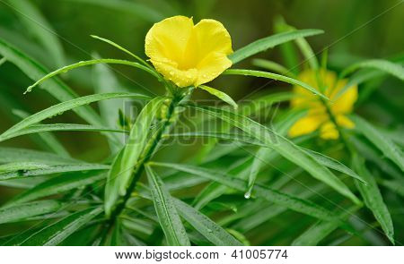 Yellow Trumpet Bush