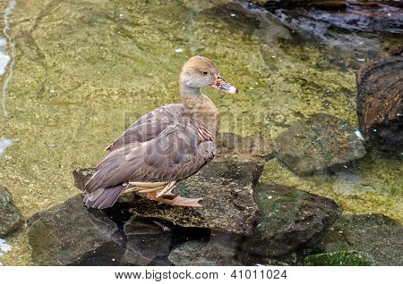 Yellow Duck Standing On A Rock
