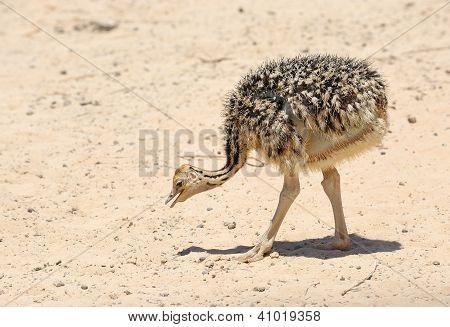 African Ostrich Chick