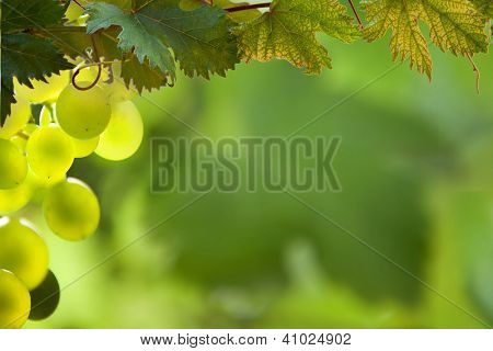 Cacho de uvas verdes em grapevine em Vinhedo.