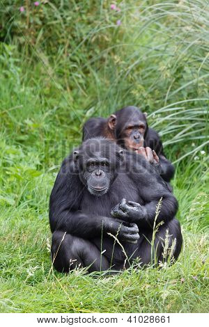 Chimp Chimpanzees