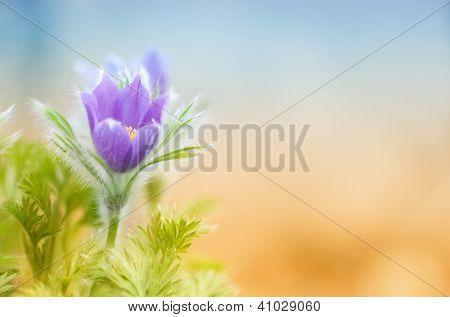 Beautiful purple little furry pasque-flower with plenty of copy space
