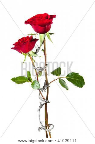 Forbidden love symbolised by barbed wire curling around two roses