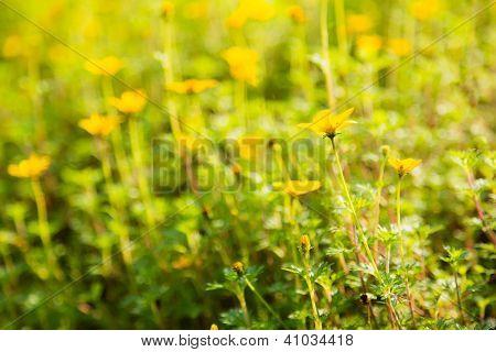 Bidens Flower In Garden