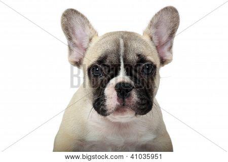 Frenchie Puppy