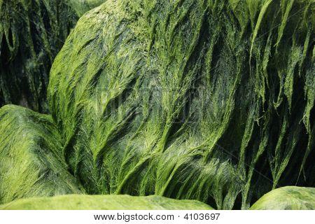 Algae On Stones