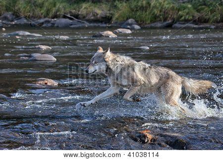 Wolf Running