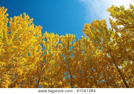 View of Fall Aspen Trees , Leh District in the state of Jammu and Kashmir, India.