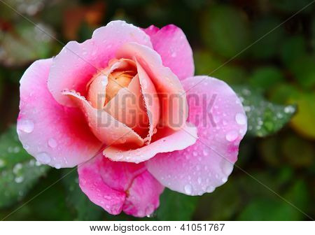 Closeup of a pink rose after a rain storm with shallow depth of field.