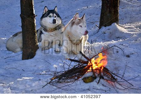 Siberian Husky Sitting In The Snow Near A Burning Fire