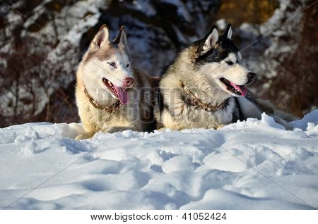 Siberian Husky Sitting In The Snow On A Winter Day