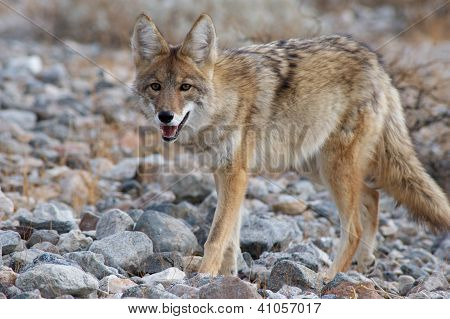 coyote strolling