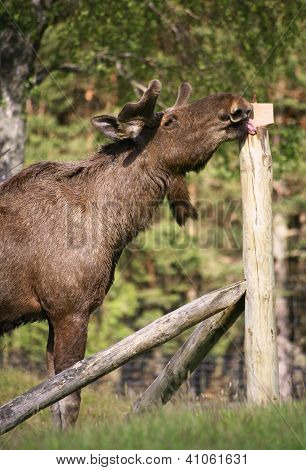 European Elk enjoying licking a salt block