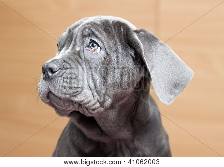 Neapolitan Mastiff puppy