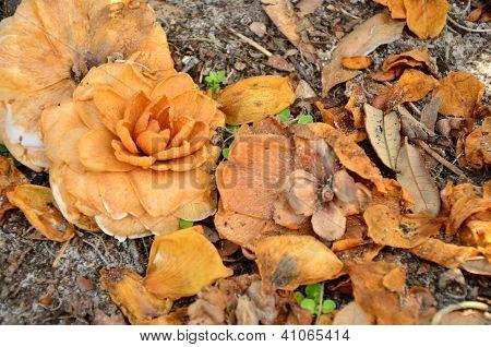 Fading camelia flowers