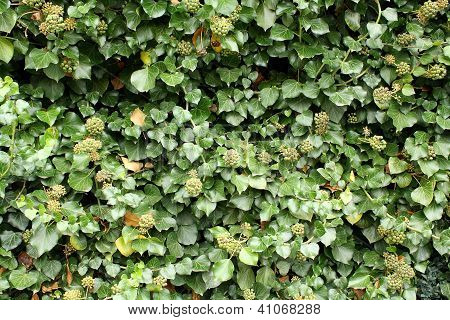 Green Climber As Beautiful Background