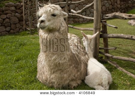 Five Day Old Alpaca And Mother