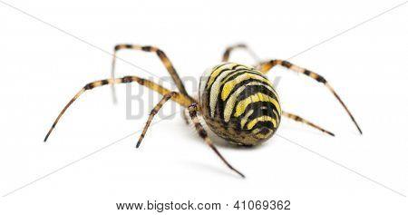 Rear view of a Wasp Spider, Argiope bruennichi, against white background