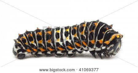 Caterpillar of the Old World Swallowtail, Papilio machaon, against white background
