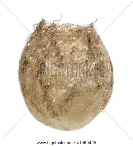 Egg sack of a Wasp Spider, Argiope bruennichi, against white background