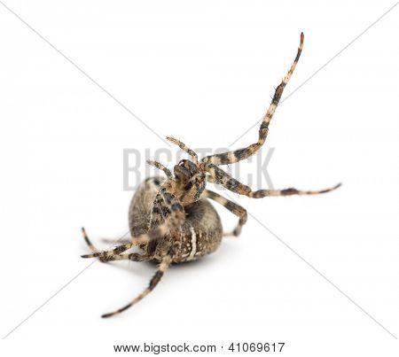 European garden spider, Araneus diadematus, rolling over against white background