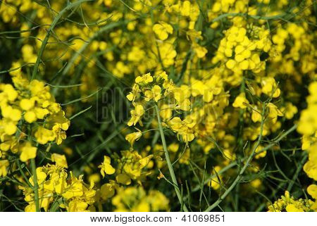 Closeup of yellow rape