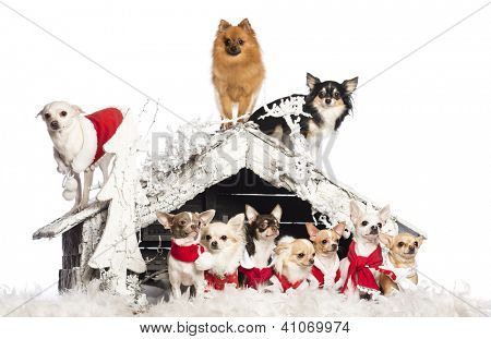 Group of Chihuahuas sitting and standing in front and on Christmas nativity scene with Christmas tree and snow against white background