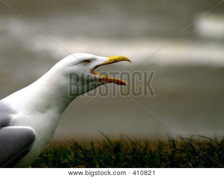 Shrieking Gull