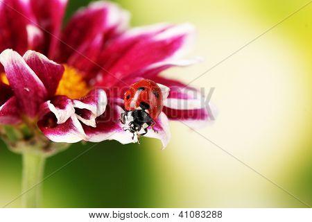 Ladybug on beautiful flower on green background