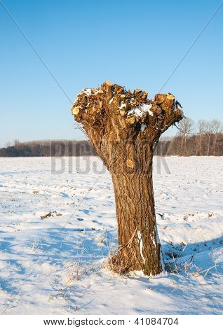 Pollarded Willow In A Dutch Snowy Polder Landscape