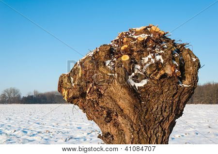 Closeup Of A Pollarded Willow In A Snowy Landscape