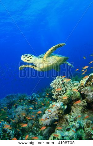 Turtle Fins Over A Pristine Coral Reef