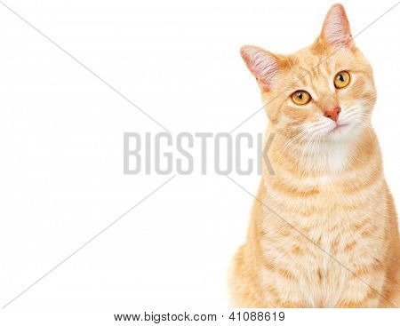 Ginger Cat isolated over white background. Animal portrait.