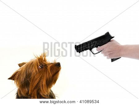 yorkie and gun