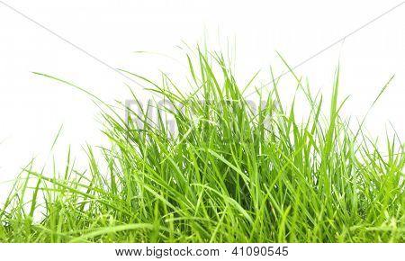 Panorama de grama verde primavera fresca isolado no fundo branco.