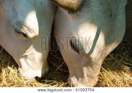 Cows Eat Hay.
