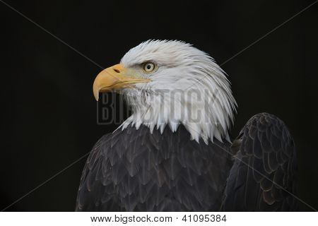 Bald Eagle with a Broken Wing