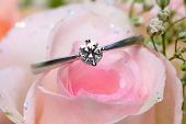 picture of pink rose  - A diamond ring put on pink rose - JPG