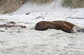 Big Sea Lion On The Beach