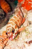 foto of hawkfish  - The hawkfish on the coral - JPG