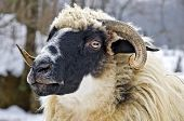 Close Up Of A Domestic Sheep Head poster