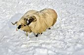 Two Purebred Domestic Fleecy Ram In The Snow poster