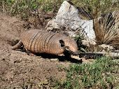 stock photo of armadillo  - Armadillo leaving its burrow in the Pantanal - JPG