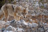 stock photo of coyote  - cautious coyote in walking through death valley - JPG