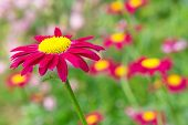 foto of feverfew  - Magenta flower pyrethrum on natural green background - JPG