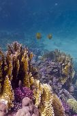stock photo of fire coral  - colorful coral reef with stony and fire coral and butterflyfishes on the bottom of tropical sea in egypt  - JPG