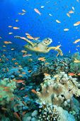 pic of sea fish  - A Hawksbill turtle in a cloud of Lyretail Anthias - JPG