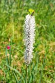 "foto of ribwort  - flower of a plant named ""Plantago media"" in green grassy back