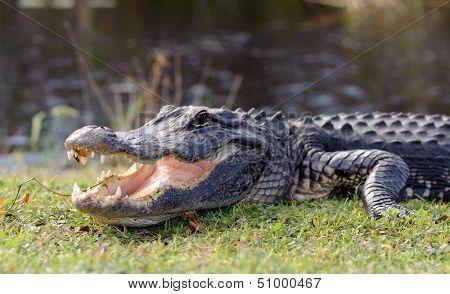 aggressive alligator in Everglades park in Florida