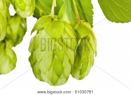 Fresh Green Hop Branch Closeup
